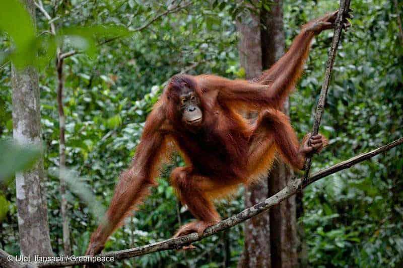 Milieudefensie en palmolie
